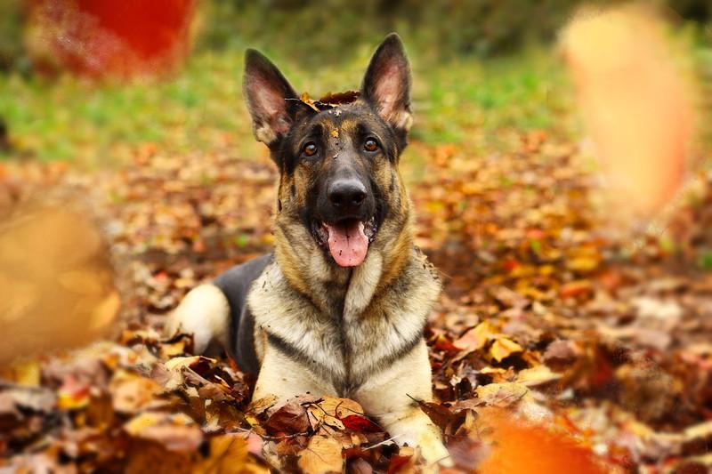 徳島中央公園の落葉の上に伏せている愛犬