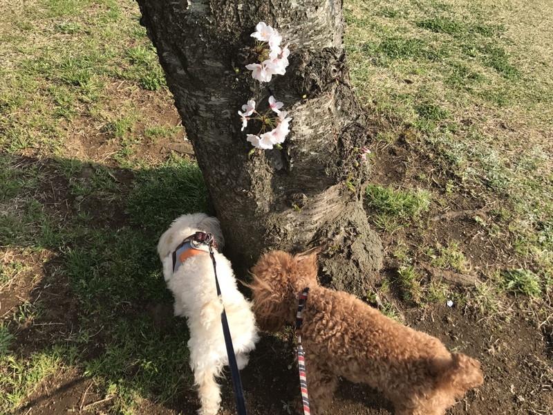 桜の木とトイプードル