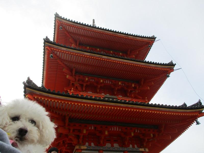 清水寺三重の塔とトイプードル