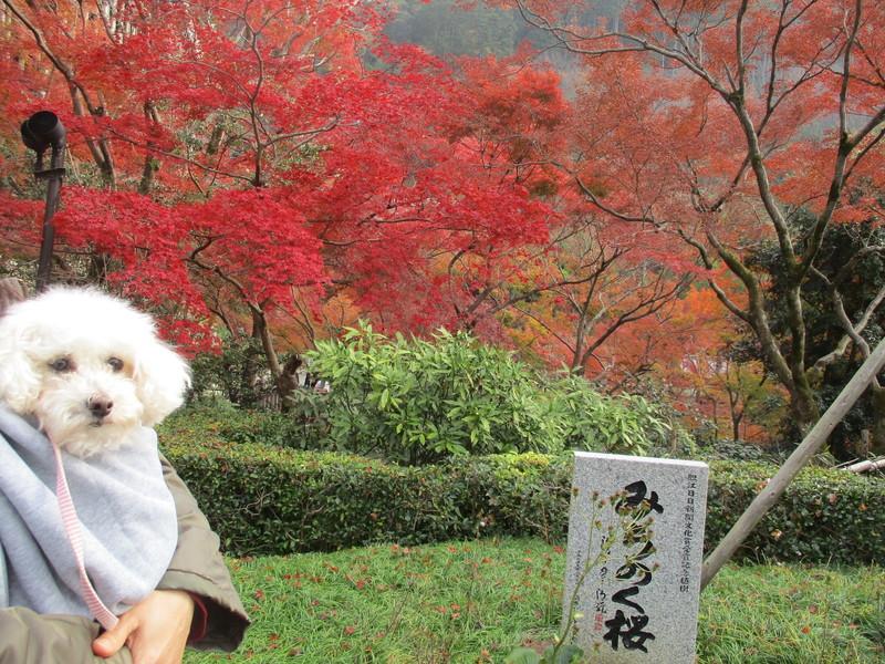 みちのく桜は葉が落ちているので写っていません