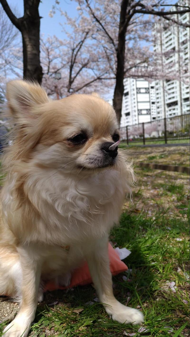 愛犬の鼻の頭に桜