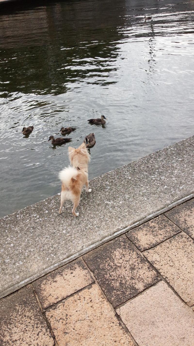 カルガモに興味津々の愛犬