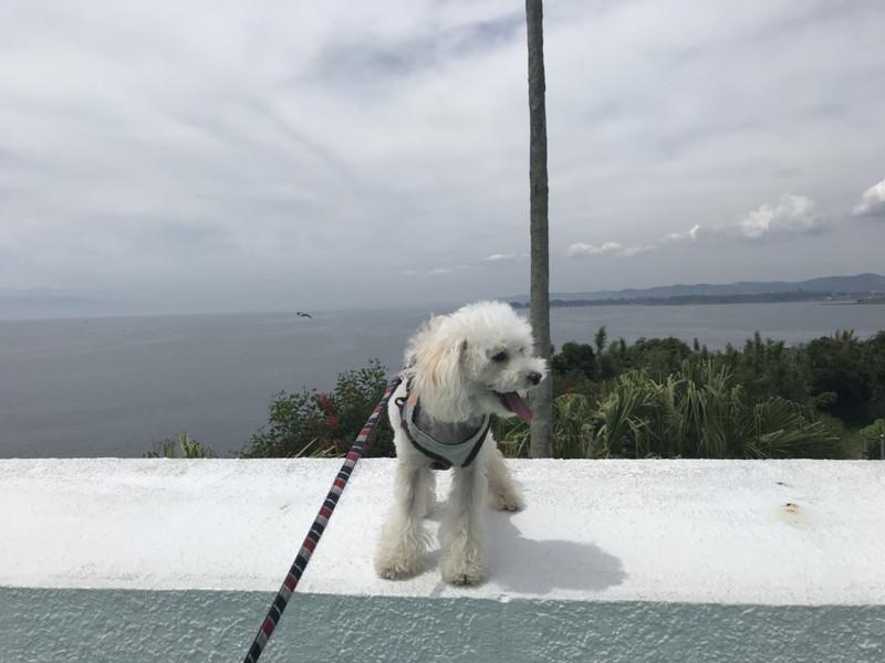 相模湾と白いトイプードル